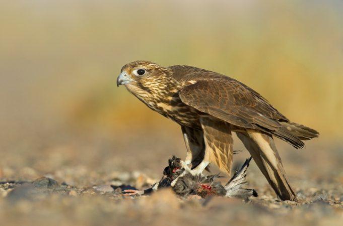 دستگیری متخلف نگهداری پرندگان شکاری در سرعین/ مجازات سه سال حبس و ۲ میلیون جریمه نقدی